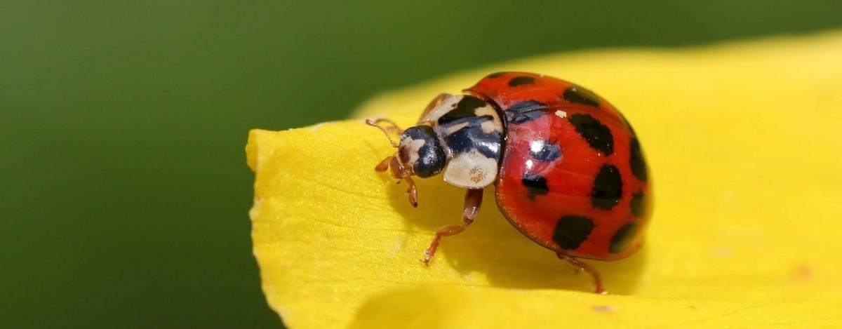 ladybug-241636_1280